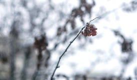 As bagas vermelhas do viburnum espanaram com neve em um ramo Fotografia de Stock