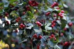 As bagas vermelhas em Bush os frutos são bagas na árvore Fotos de Stock Royalty Free