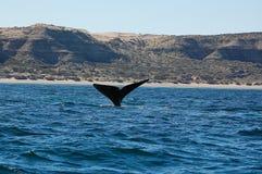 As baleias bonitas na península de Valdes em Argentina Imagem de Stock