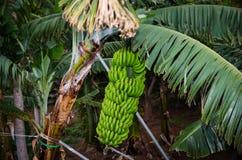 As bananas são crescidas em grupos grandes em Tenerife, Espanha Fotografia de Stock