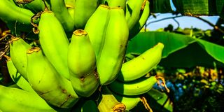 As bananas verdes fotografia de stock royalty free