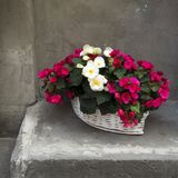 As begônias brancas e vermelhas em uma cesta branca de vime perto da parede cinzenta Fotos de Stock