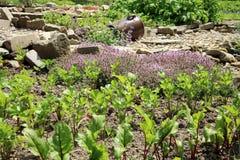 As beterrabas, o aipo e o tomilho novos no país jardinam Fotografia de Stock