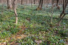 As a blue carpet growing snowdrops royalty free stock images