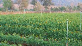 As bolas da batata em uma tabela de madeira no meio da exploração agrícola, o sol cairão imagem de stock