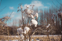 As bolas da neve travaram em uma planta secada Imagens de Stock Royalty Free