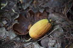 As bolotas germinam na floresta Foto de Stock