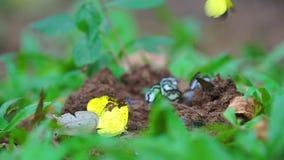 As borboletas amarelas comem os minerais no pântano de sal filme