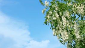 As borboletas bonitas recolhem o p?len das flores da ?rvore branca da ac?cia Nymphalis dos urticae de Aglais e folhas verdes cont vídeos de arquivo