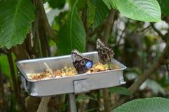 As borboletas comem o fruto em uma bacia foto de stock