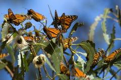 As borboletas de monarca recolheram em um ramo de árvore durante o outono Imagens de Stock Royalty Free