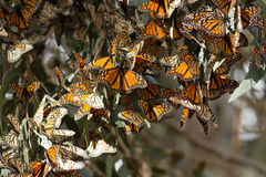 As borboletas de monarca recolheram em um ramo de árvore durante o outono Imagem de Stock Royalty Free