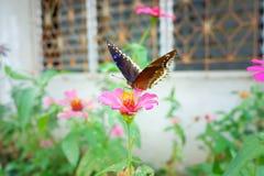 As borboletas estão comendo a água doce imagens de stock royalty free