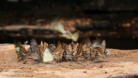 As borboletas estão sugando o alimento e estão voando perto do rio video estoque