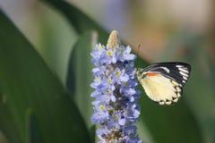 As borboletas s?o empoleiradas em flores na manh? fotos de stock