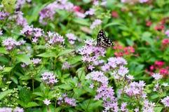 As borboletas sugam o néctar em flores roxas fotografia de stock royalty free