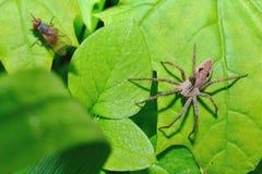 As caças da aranha em uma mosca Imagens de Stock