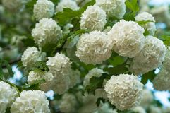 As cabeças de flor do viburnum da bola de neve do chinês são nevado Florescência de flores brancas bonitas no jardim do verão Fotos de Stock Royalty Free