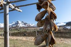 As cabeças secadas dos peixes penduram em uma cremalheira em Borgarfjordur Eystri, fiordes do leste, Islândia Imagem de Stock