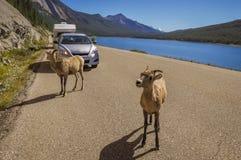 As cabras de montanha curiosas param o tráfego no lago medicine Fotos de Stock