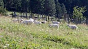 As cabras estão andando pela cerca vídeos de arquivo