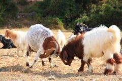 As cabras estão lutando Fotos de Stock