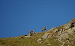 As cabras-montesas com as cabras-montesas pequenas na noite atrasada iluminam-se Foto de Stock