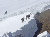 As cabras-montesas estão esperando a mola Fotografia de Stock Royalty Free