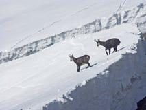 As cabras-montesas estão esperando a mola Imagens de Stock