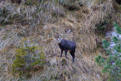 As cabras-montesas fecham-se acima Foto de Stock