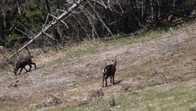 As cabras-montesas pastam nos pastos da montanha alta Foto de Stock Royalty Free