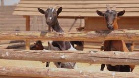 As cabras no aviário na exploração agrícola, cabras olham atrás da cerca na câmera, uma cabra em uma exploração agrícola moderna filme