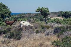 As cabras pastam em um prado da montanha no por do sol de Grécia Cabras na montanha oposto ao mar Fotografia de Stock