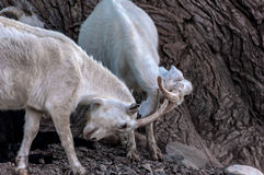 As cabras pastam a montanha da luta Fotos de Stock Royalty Free