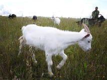As cabras pastam no campo Um rebanho das cabras para pastar e comer a grama em um dia ensolarado, em detalhes e em close-up fotografia de stock royalty free