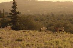 As cabras selvagens de um tipo de um kri-kri vão sobre na borda do penhasco da montanha imagens de stock royalty free