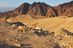 As cabras selvagens nas montanhas de Eilat Fotos de Stock Royalty Free