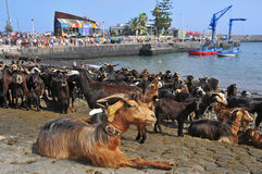 As cabras tradicionais do banho deleitam-se em Puerto de la Cruz Fotos de Stock