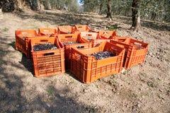 As caixas vermelhas encheram-se com as azeitonas na terra Imagem de Stock Royalty Free