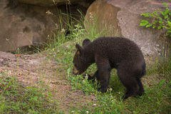 As caminhadas americanas do Ursus de Cub de urso preto aproximam o antro Foto de Stock Royalty Free