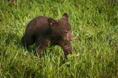 As caminhadas americanas do Ursus de Cub de urso preto endireitam através da grama Imagens de Stock