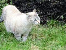 As caminhadas de gato cinzentas na grama fotos de stock