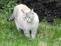 As caminhadas de gato cinzentas na grama foto de stock royalty free