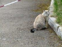 As caminhadas de gato cinzentas na grama fotografia de stock