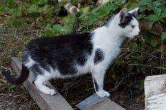 As caminhadas de gato manchadas ao longo da grama na rua e nos olhares Imagens de Stock