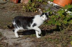 As caminhadas de gato manchadas ao longo da grama na rua e nos olhares Fotos de Stock Royalty Free
