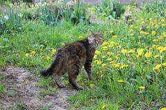 As caminhadas de gato nos dentes-de-leão Imagens de Stock Royalty Free