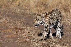 As caminhadas masculinas de um leopardo passaram ocasionalmente o visor do jogo em uma patrulha da manhã atrasada fotos de stock royalty free