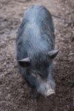 As caminhadas pretas grandes do porco Fotografia de Stock Royalty Free