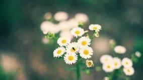 As camomilas bonitas florescem no jardim e balançam no vento vídeos de arquivo